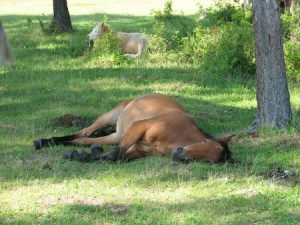 Horse Suffering from Heat Stroke