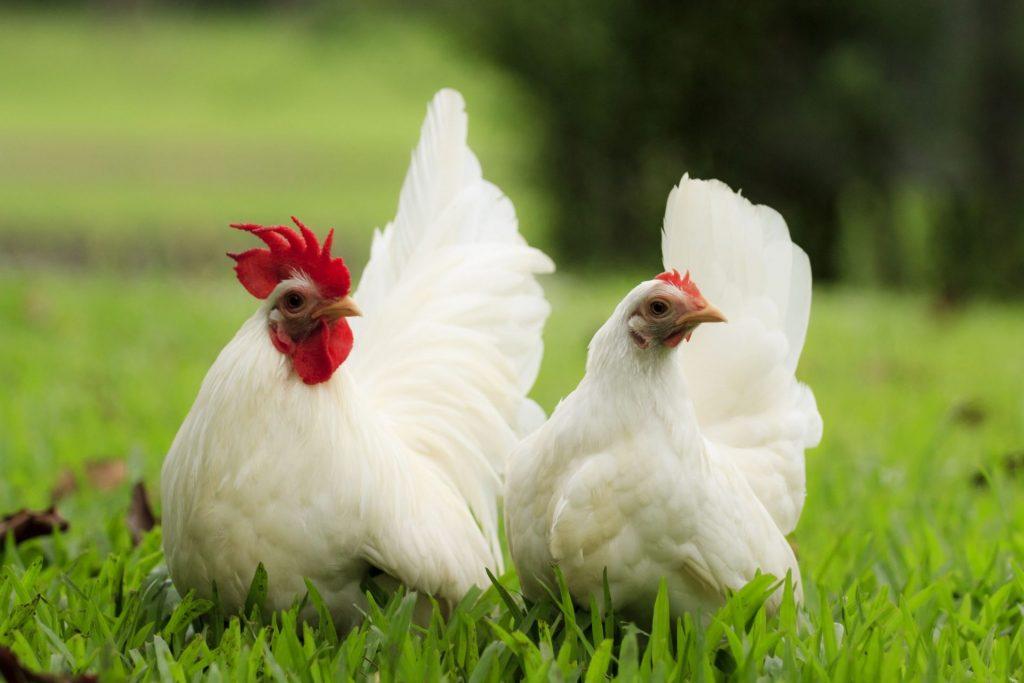 Beginner Tips for Keeping Backyard Chickens