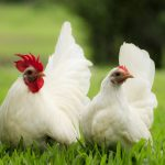 Beginner Tips for Keeping Backyard Chickens
